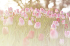 Tulipas cor-de-rosa que florescem no jardim da mola com fundo do alargamento do sol Fotografia de Stock Royalty Free