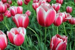 Tulipas cor-de-rosa - rosas de Tulipanes Foto de Stock