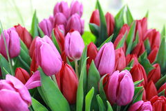 Tulipas cor-de-rosa, vermelhas com folhas verdes Fotos de Stock