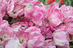 Tulipas cor-de-rosa vibrantes Fotografia de Stock