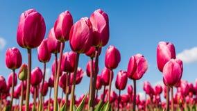 Tulipas cor-de-rosa vibrantes contra um céu azul Fotografia de Stock