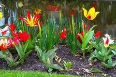 Tulipas da flor na vila holandesa Fotos de Stock Royalty Free