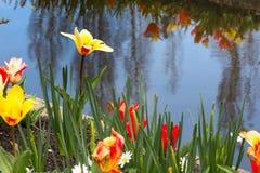 Tulipas da flor na vila holandesa Foto de Stock Royalty Free