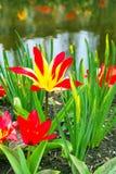 Tulipas da flor na vila holandesa Imagem de Stock