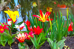 Tulipas da flor na vila holandesa Fotografia de Stock Royalty Free