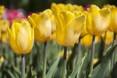 Tulipas da mola das flores Tulipas do jardim Imagem de Stock Royalty Free