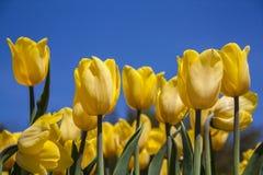Tulipas da mola das flores Tulipas do jardim Fotos de Stock Royalty Free