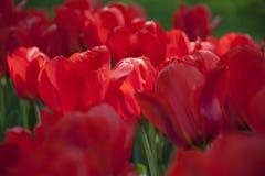 Tulipas da mola das flores Tulipas do jardim Foto de Stock