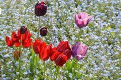 Tulipas da mola em um jardim inglês do país Fotografia de Stock Royalty Free