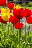 Tulipas da mola no jardim ensolarado, backlit Imagem de Stock