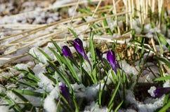 Tulipas da Páscoa que emergem através da neve fresca da mola fotos de stock