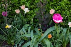 Tulipas da primavera na manhã 14 Imagens de Stock