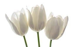 Tulipas das flores brancas Fotografia de Stock Royalty Free