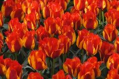 tulipas de florescência Amarelo-vermelhas no jardim Keukenhof da mola Floresce o papel de parede Foto de Stock Royalty Free