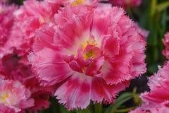Tulipas de florescência cor-de-rosa Cummins Variedade rara Botão revelado Jardim Keukenhof da mola Fim acima Fotos de Stock Royalty Free