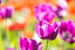 Tulipas de florescência da mola sob o sol Imagem de Stock Royalty Free