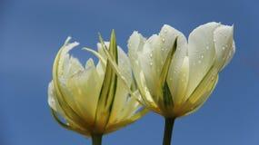 Tulipas de florescência e gota imagens de stock royalty free