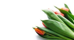 Tulipas de florescência em um fundo branco Isolado, o conceito da mola Fotografia de Stock
