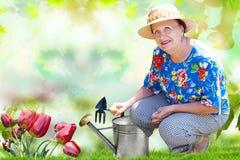 Tulipas de jardinagem da mulher Fotos de Stock