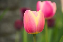Tulipas de Rosa no jardim Fotografia de Stock Royalty Free