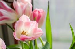 Tulipas delicadamente brancas do rosa três no fundo claro fotografia de stock royalty free