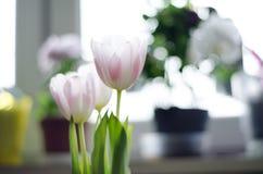 Tulipas delicadamente brancas do rosa três no fundo claro com potenciômetros fotos de stock