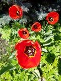 Tulipas do jardim Imagem de Stock