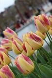 Tulipas do nascer do sol do Tequila Cama de flor de tulipas amarelo-vermelhas foto de stock