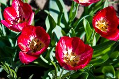 Tulipas do vermelho do jardim de flores Foto de Stock
