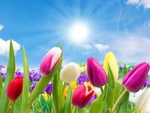 Tulipas e açafrões no sol Imagem de Stock Royalty Free