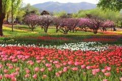 Tulipas e flores do pêssego na mola fotografia de stock royalty free