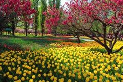 Tulipas e flores do pêssego na mola do jardim imagem de stock