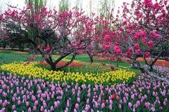 Tulipas e flores do pêssego na mola do jardim foto de stock