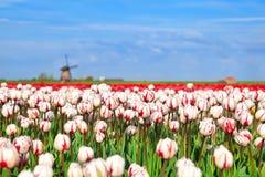 Tulipas e moinho de vento vermelhos e brancos Imagem de Stock Royalty Free