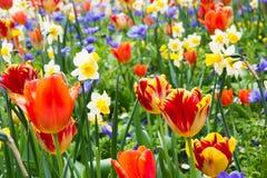 Tulipas e outras flores Imagem de Stock
