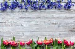 Tulipas e scillas coloridos Fotos de Stock