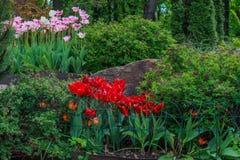 Tulipas e Tulipa Gesneriana vermelhos florescidos Foto de Stock Royalty Free