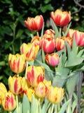 Tulipas em amarelo e em vermelho imagem de stock royalty free