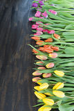 Tulipas em cores brilhantes Fotos de Stock Royalty Free