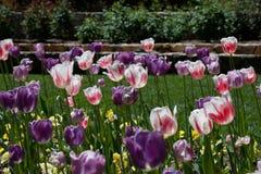 Tulipas em Duke Garden Fotografia de Stock Royalty Free