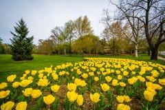 Tulipas em Sherwood Gardens Park, em Baltimore, Maryland Fotografia de Stock Royalty Free