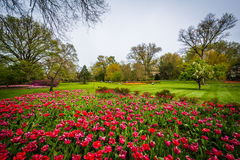 Tulipas em Sherwood Gardens Park, em Baltimore, Maryland foto de stock royalty free