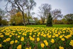 Tulipas em Sherwood Gardens Park, em Baltimore, Maryland Fotografia de Stock