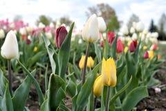 Tulipas em um campo da tulipa fotografia de stock