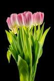Tulipas flores cor-de-rosa isoladas em um fundo preto Imagens de Stock Royalty Free
