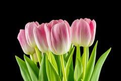 Tulipas flores cor-de-rosa isoladas em um fundo preto Imagem de Stock