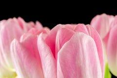 Tulipas flores cor-de-rosa isoladas em um fundo preto Fotos de Stock