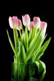 Tulipas flores cor-de-rosa isoladas em um fundo preto Fotografia de Stock Royalty Free
