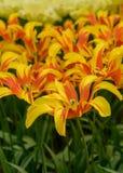 Tulipas florescidas amarelas vermelhas em jardins de Keukenhof da mola Variedades excelentes de tulipas Imagens de Stock Royalty Free