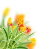 Tulipas frescas vermelhas e amarelas Imagens de Stock Royalty Free